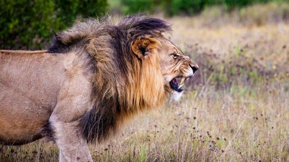 lion-predator-big-cat-cat-162093.jpeg