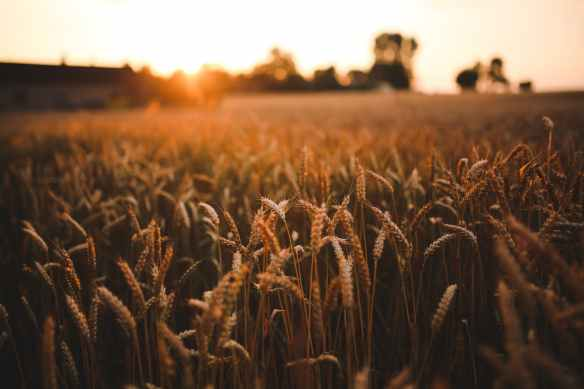 sunset field of grain