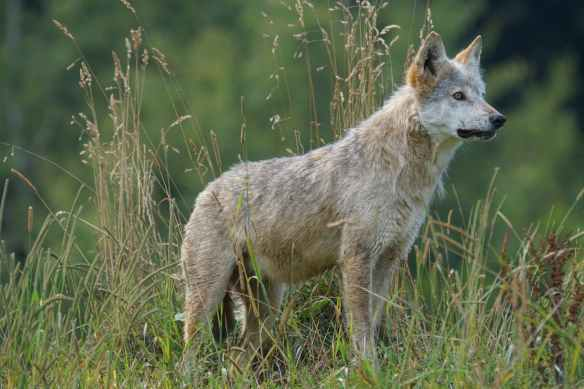 wolf-predator-carnivores-pack-animal-158108.jpeg